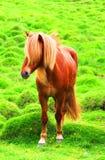 在一个绿色牧场地,冰岛的冰岛马 库存图片