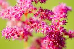 在一个绿色背景特写镜头的桃红色花 库存图片