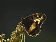 在一个绿色背景的蝴蝶 库存图片