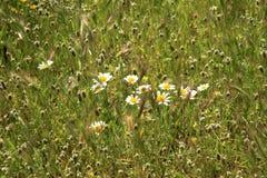 在一个绿色草甸中的Camomiles 夏天快乐的天 库存图片