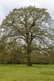 在一个绿色草甸中间的一棵巨大的树 免版税图库摄影