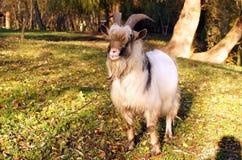 在一个绿色草甸吃草的灰色山羊 免版税库存照片