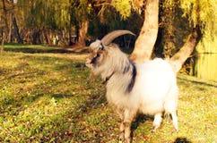 在一个绿色草甸吃草的灰色山羊 库存照片