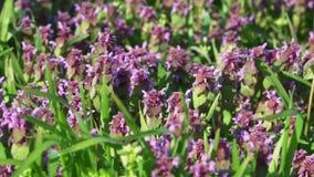 在一个绿色草甸特写镜头的美丽的紫色花