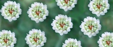 在一个绿色草甸的三叶草花 夏天明白温暖的天 免版税库存照片