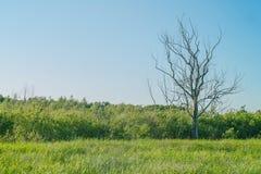 在一个绿色草甸的干燥树 库存照片