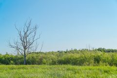 在一个绿色草甸的干燥树 库存图片