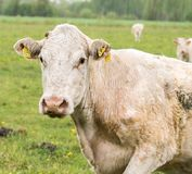 在一个绿色草甸的白色母牛 白色母牛画象 库存照片