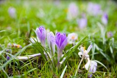 在一个绿色草甸的紫罗兰色番红花 库存照片