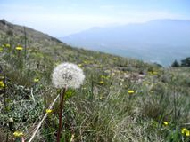 在一个绿色草甸的蒲公英在山中 库存照片