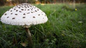 在一个绿色草甸的蘑菇在黎明 免版税库存照片