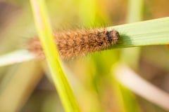 在一个绿色词根的长毛的毛虫蝴蝶 免版税库存照片