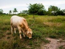 在一个绿色领域的一头母牛在泰国 库存图片