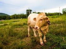 在一个绿色领域的一头母牛在泰国 免版税库存照片