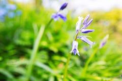 在一个绿色领域的会开蓝色钟形花的草 免版税库存照片