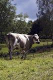 在一个绿色领域的愉快的母牛 库存图片