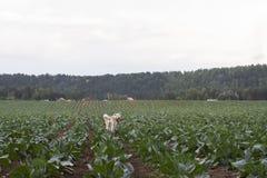在一个绿色领域的滑稽的美丽的日本人秋田Inu狗在中许多生长在夏天的圆白菜在一多云天 库存照片