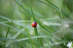 在一个绿色领域的瓢虫 免版税库存图片