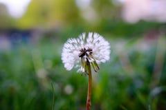 在一个绿色领域的空气蒲公英 春天 库存照片