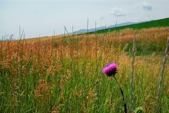 在一个绿色领域的紫色花在爱达荷 免版税库存照片