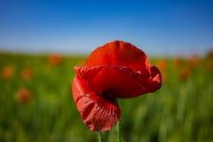 在一个绿色领域的红色鸦片 免版税库存照片