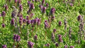 在一个绿色领域的美丽的紫色花