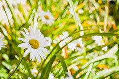 在一个绿色领域的逗人喜爱的雏菊 图库摄影