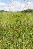 在一个绿色领域的野花 库存照片