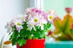 在一个罐的一朵美丽的花在一个窗口在房子里 菊花花细节  图库摄影