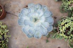 在一个罐的仙人掌在庭院里 图库摄影
