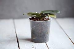 在一个罐的兰花没有花 免版税图库摄影