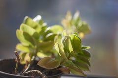 在一个罐的室内植物Kalanchoe在窗台 库存照片