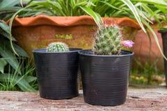 在一个罐的小绿色仙人掌在庭院背景 免版税库存照片