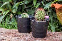 在一个罐的小绿色仙人掌在庭院背景 图库摄影