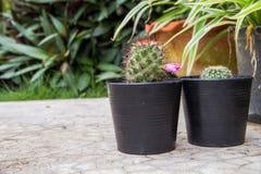 在一个罐的小绿色仙人掌在庭院背景 免版税库存图片