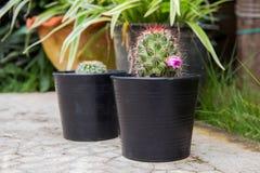 在一个罐的小绿色仙人掌在庭院背景 库存图片