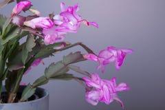 在一个罐的开花的桃红色圣诞节仙人掌石生仙人掌在白色背景 免版税图库摄影