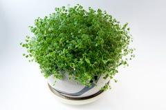 在一个罐的爬行毡片形常绿香草在白色背景 免版税图库摄影