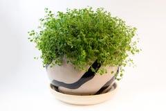 在一个罐的爬行毡片形常绿香草在白色背景 库存图片