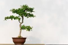 在一个罐的盆景树对白色墙壁 免版税库存图片