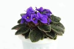 在一个罐的紫色紫罗兰在白色背景 beauvoir 花 特写镜头 图库摄影