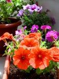在一个罐的红色喇叭花花在阳台 免版税库存图片