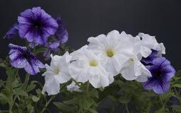 在一个罐的美丽的喇叭花花反对黑暗的背景 免版税库存图片