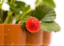 在一个罐的草莓在白色背景 库存照片