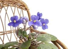 在一个罐的紫色紫罗兰色花在一把晃动的藤椅 免版税图库摄影