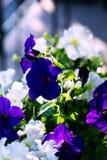 在一个罐种植的喇叭花在庭院里 库存图片