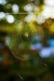 在一个网的发怒Orbweaver蜘蛛有被弄脏的绿色背景 免版税库存图片