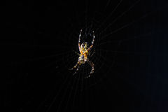 在一个网的蜘蛛在黑背景上 免版税库存照片