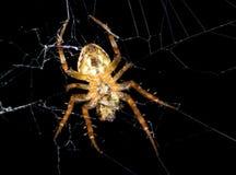 在一个网的蜘蛛在黑背景上 库存图片