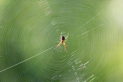 在一个网的蜘蛛本质上 免版税库存图片
